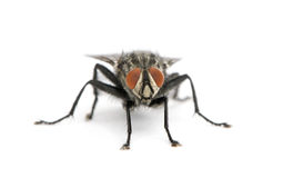 Portrait of flesh fly against white background Stock Photography