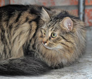 Portrait of a fluffy cat Royalty Free Stock Photography