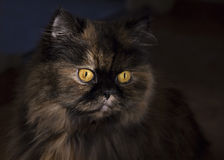 Portrait of fluffy cat with bright yellow eyes. On a dark background royalty free stock photo