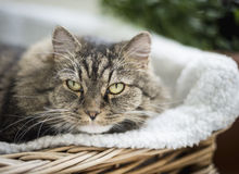 Portrait of fluffy cat in couch, close up Royalty Free Stock Photo