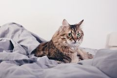 Portrait of a fluffy cat Royalty Free Stock Photos