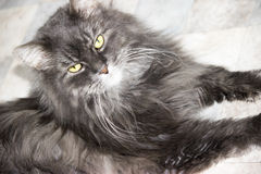 Portrait of a fluffy cat. Siberian cat gray blue color Stock Photo