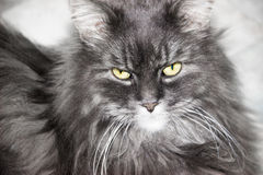 Portrait of a fluffy cat. Siberian cat gray blue color Stock Photos