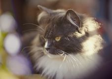 Portrait of a fluffy cat of a smoky color. Royalty Free Stock Photography
