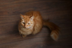 Portrait of fluffy ginger cat with big white whiskers Stock Image