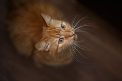 Portrait of fluffy ginger cat with big white whiskers Royalty Free Stock Photography