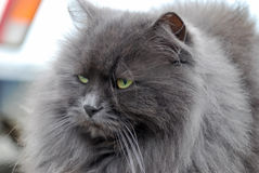Portrait of a fluffy gray cat Royalty Free Stock Photos
