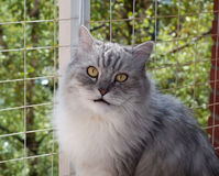 Portrait of fluffy gray cat on background of brick wall. And lattice Stock Photos