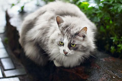 Portrait of fluffy gray cat outdoors Royalty Free Stock Photo