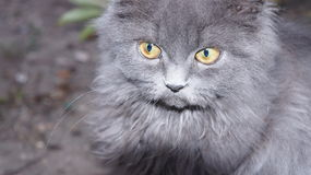 Portrait of a fluffy gray cat. With yellow eyes Stock Images