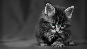 Portrait of a fluffy kitten  Royalty Free Stock Images