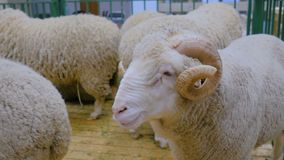 Fluffy ram with horns