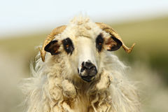 Portrait of fluffy ram Royalty Free Stock Photography