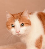 Brown and white cat Royalty Free Stock Photos