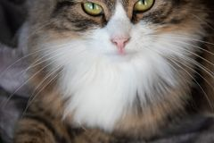 Portrait of fluffy sweet serious tabby cat with big yellow eyes and white dickey stock photos