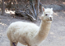 Portrait of Fluffy young Alpaca (Vicugna pacos) Royalty Free Stock Photos
