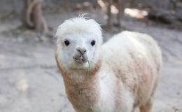 Portrait of Fluffy young Alpaca (Vicugna pacos) Royalty Free Stock Image