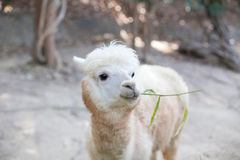 Portrait of Fluffy young Alpaca (Vicugna pacos) Royalty Free Stock Photo
