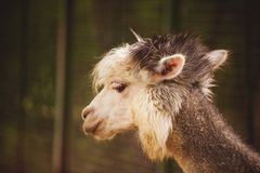 Portrait of Fluffy young Alpaca Vicugna pacos. White and grey Royalty Free Stock Photos