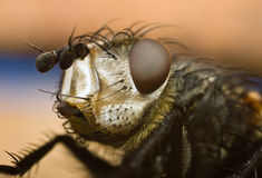 Portrait of the fly Royalty Free Stock Photography