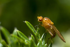 Portrait of a fly Stock Photography