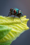 Portrait of a fly. A colorful fly posing on a leaf Royalty Free Stock Photos