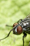 Portrait of a fly on green.  Royalty Free Stock Image