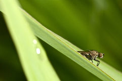 Portrait of a fly on green.  stock photography