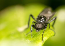 Portrait of a fly on a green leaf. close.  Stock Image
