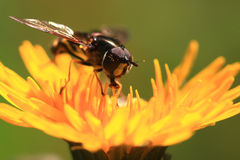 Portrait of a fly insect on dandelion Royalty Free Stock Image