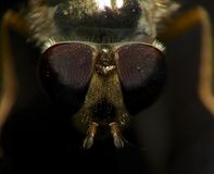 Insect portrait: fly Royalty Free Stock Photography