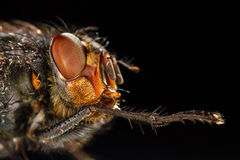 Portrait of fly. Side view Royalty Free Stock Photos