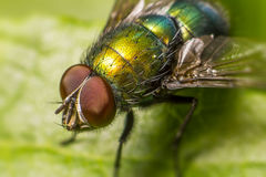 Portrait of a fly Royalty Free Stock Images
