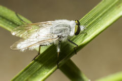 Portrait of a fly Royalty Free Stock Photos
