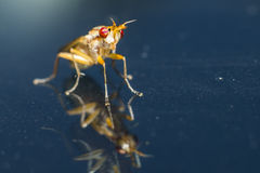 Portrait of a fly Royalty Free Stock Photo