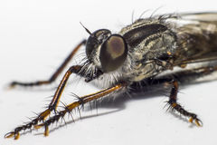 Portrait of a fly Stock Images