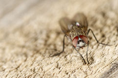 Portrait of a fly on wood.  Stock Photography