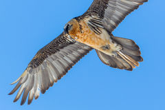 Portrait of flying adult bearded vulture Gypaetus barbatus wit Stock Photos