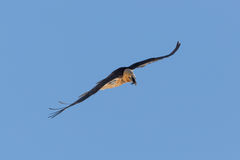 Portrait of flying adult bearded vulture Gypaetus barbatus wit Stock Photo