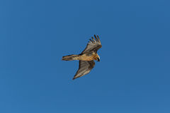 Portrait of flying adult bearded vulture Gypaetus barbatus wit Stock Photography