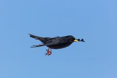 Portrait of flying alpine chough bird Pyrrhocorax graculus Royalty Free Stock Images