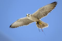 Portrait of a flying Gyrfalcon in the blue sky royalty free stock photo