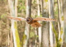 Portrait of flying long-eared owl - Asio otus Royalty Free Stock Images