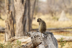 Portrait fo african baboon monkey. Portrait of african baboon monkey standing on a dry log in Moremi game reserve, Botswana stock photography