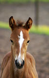 Portrait of a foal. Stock Photo