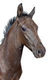 Portrait of a foal. Isolated on a white background Stock Photography
