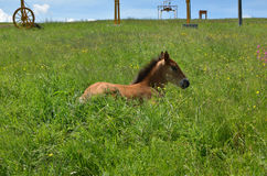 Portrait of a Foal Royalty Free Stock Image