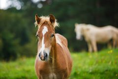 The foal close up Stock Photography