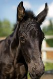 Portrait of foal - friesian horse Stock Photo