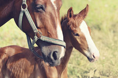Portrait of foal with his mother royalty free stock photography